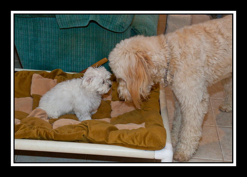 IMAGE: http://rpcrowe.smugmug.com/Other/MALTESE-RESCUE-DOGS/Tinas-puppy-Lexie-and-Holly/1056363033_eFPAw-L.jpg