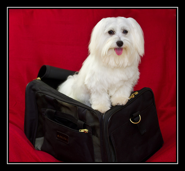 IMAGE: http://rpcrowe.smugmug.com/Other/MALTESE-RESCUE-DOGS/i-3MDSgNf/0/L/Malibu_2616_edited-1%20-%20Copy-L.jpg
