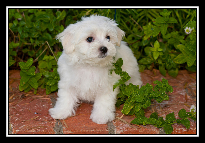 IMAGE: http://rpcrowe.smugmug.com/Other/MALTESE-RESCUE-DOGS/i-3qh7LMj/0/L/Arizona%20girl%2003-L.jpg