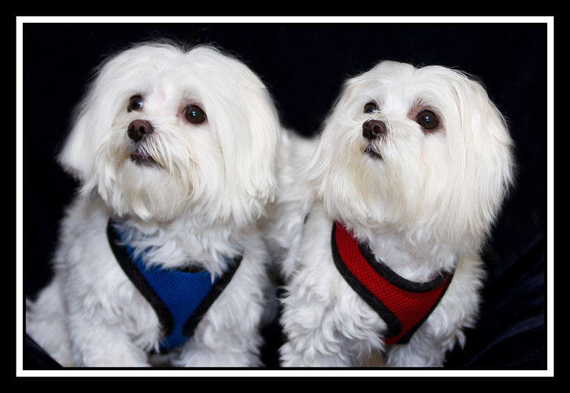 Two Cute Maltese