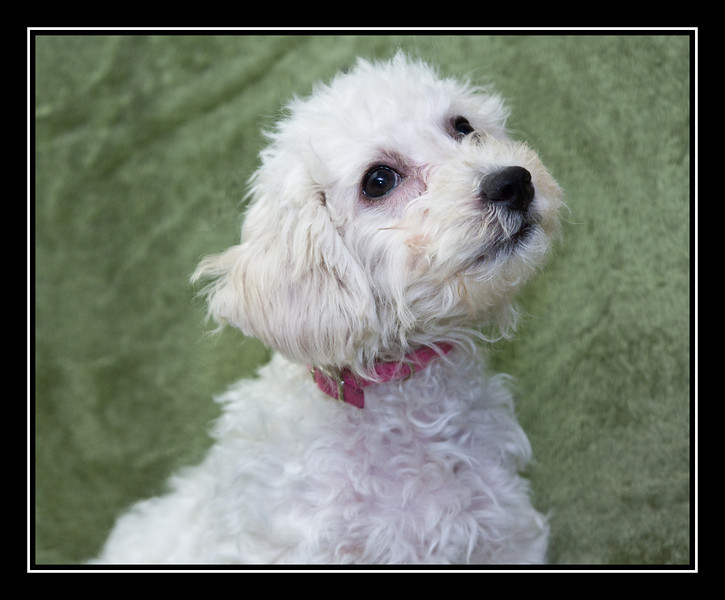 MALTESE RESCUE DOGS - rpcrowe