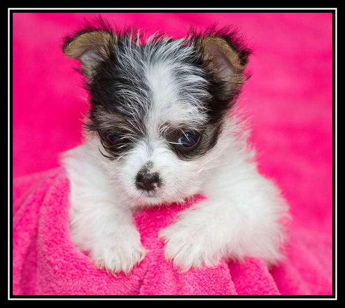 IMAGE: http://rpcrowe.smugmug.com/Other/MALTESE-RESCUE-DOGS/i-NhL5fSG/0/L/Maltchi-puppies0827edited-1-L.jpg