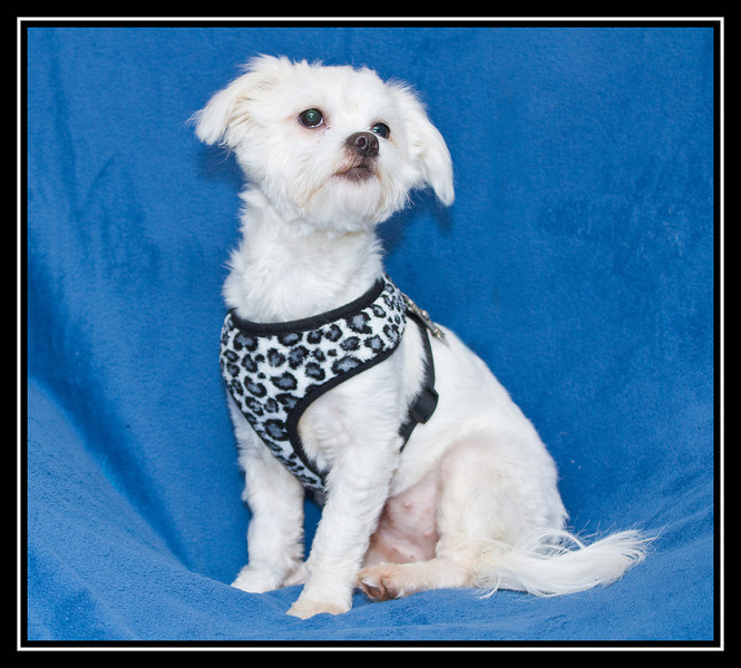 IMAGE: http://rpcrowe.smugmug.com/Other/MALTESE-RESCUE-DOGS/i-cJ2BGfn/0/L/Cherry-02-small-L.jpg