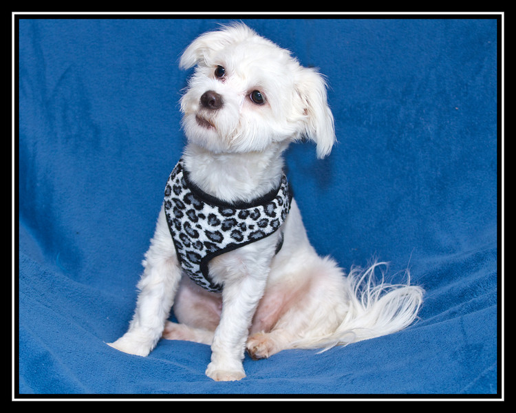 IMAGE: http://rpcrowe.smugmug.com/Other/MALTESE-RESCUE-DOGS/i-xWVVkWN/0/L/Cherry%2001%20large%20small-L.jpg