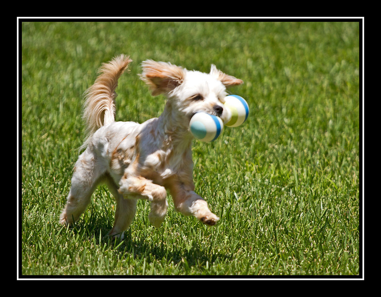 IMAGE: http://rpcrowe.smugmug.com/Other/MALTESE-RESCUE-DOGS/i-zHrDcDW/0/L/Felicia-running-with-L.jpg