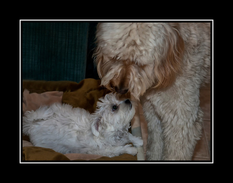 Goldendoodle and Maltese Puppy