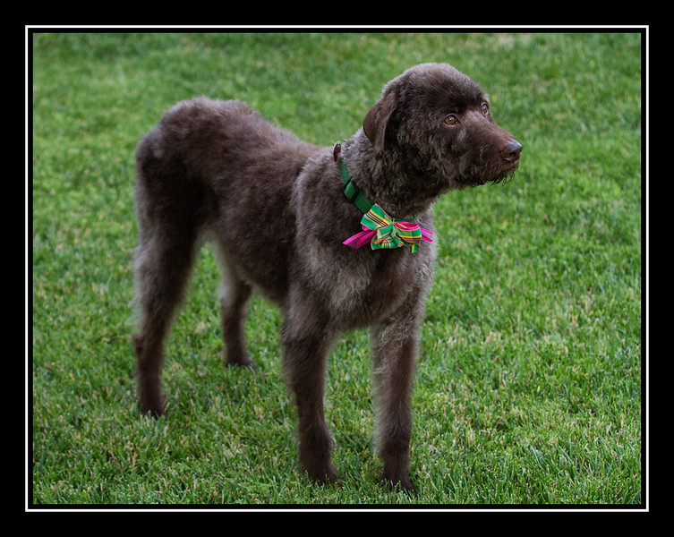 Ratty Looking Labradoodle