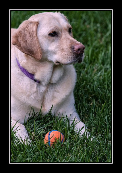 Lab and ball...