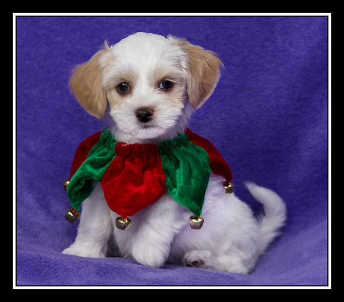 IMAGE: http://rpcrowe.smugmug.com/Pets/MALTESE-RESCUE-CALIFORNIA/i-MqwrzCL/0/L/LulupuppyDonner_3528-L.jpg