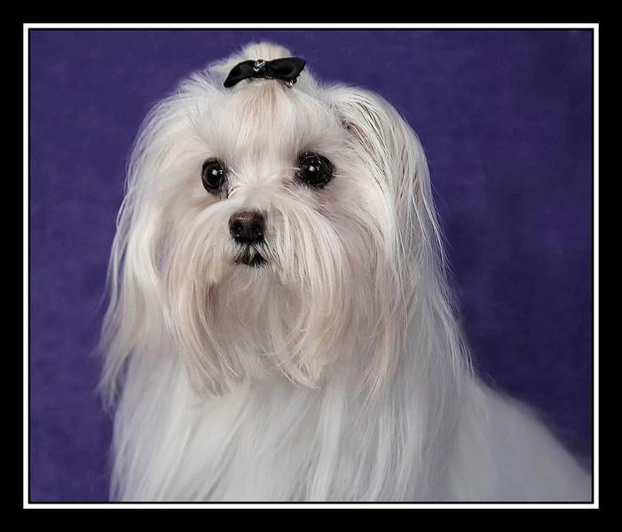IMAGE: http://rpcrowe.smugmug.com/Pets/MALTESE-RESCUE-CALIFORNIA/i-TBPZNXJ/0/L/Hanna02-L.jpg