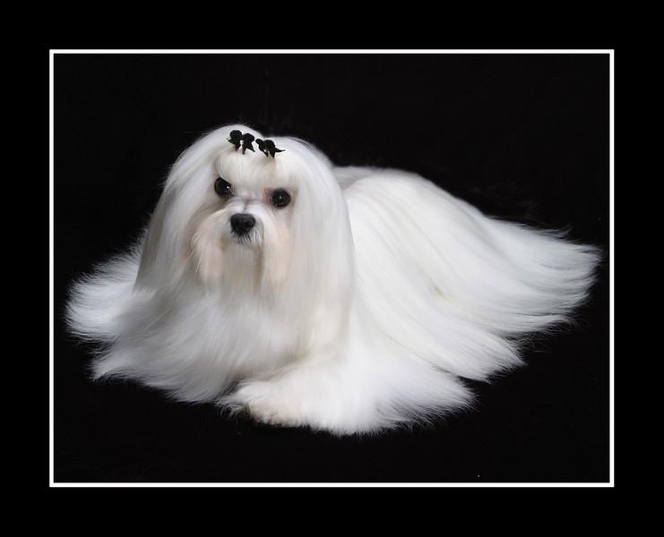IMAGE: http://rpcrowe.smugmug.com/Pets/MALTESE/JPEG-Joey-retouched-002/237131197_uTv44-L.jpg